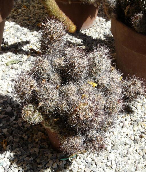 Mammillaria schumannii Hildmann