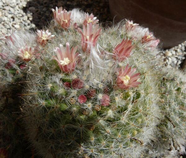 Mammillaria bocasana Poselg.