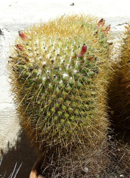 Mammillaria rhodantha Link & Otto