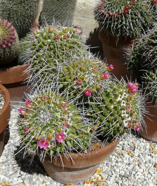 Mammillaria centricirrha Lem.