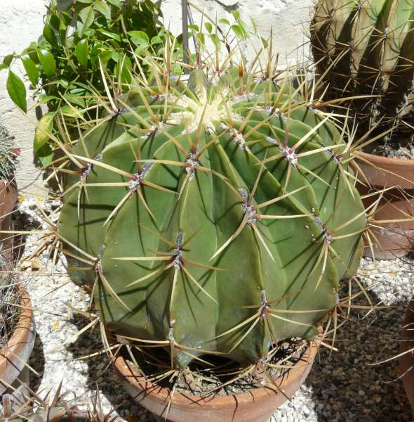 Ferocactus histrix (DC.) G.E.Linds.