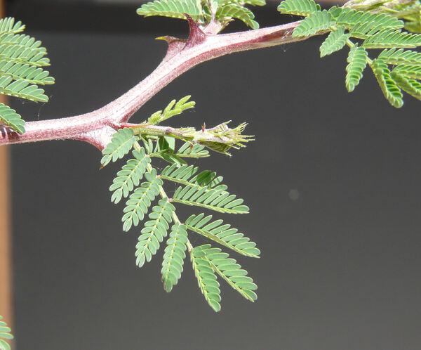 Mimosa aculeaticarpa Ortega