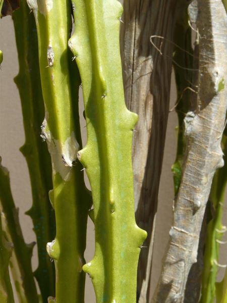 Selenicereus hamatus (Scheidw.) Britton & Rose