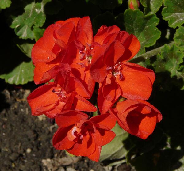 Pelargonium spp.