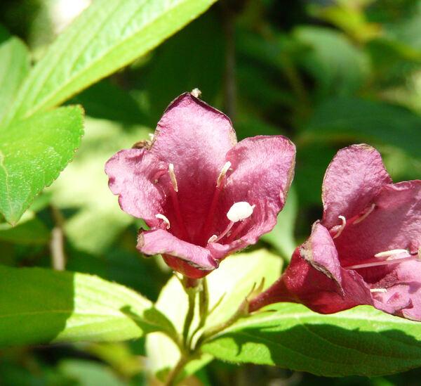 Weigela florida (Bunge) A. DC. 'Bristol Ruby'