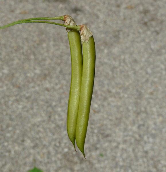 Caragana sophoraefolia Tausch.