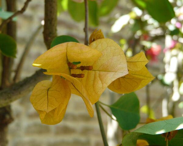 Bougainvillea sp.