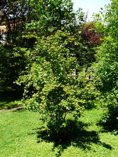 Physocarpus torreyi (S. Watson) Maxim.