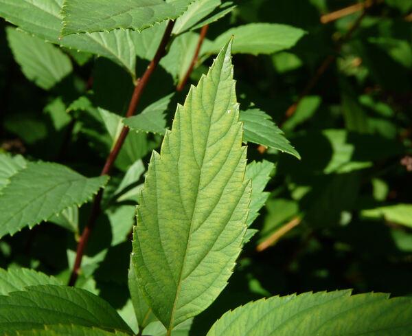 Spiraea japonica L. f. 'Froebelii'