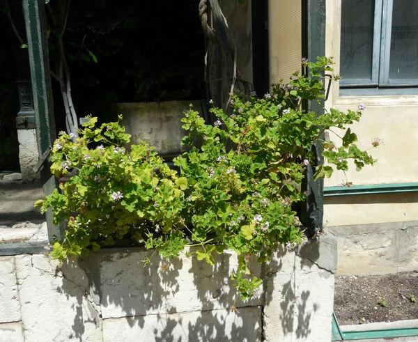 Pelargonium vitifolium (L.) L'Hér.
