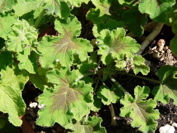 Pelargonium tomentosum Jacq.