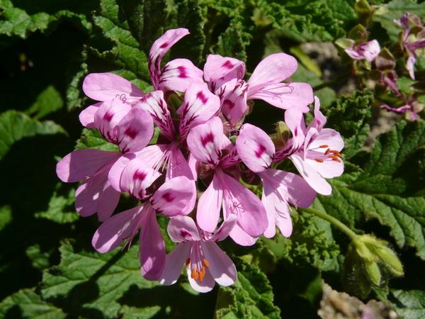 Pelargonium quercifolium (L. f.) L'Hér. ex Aiton