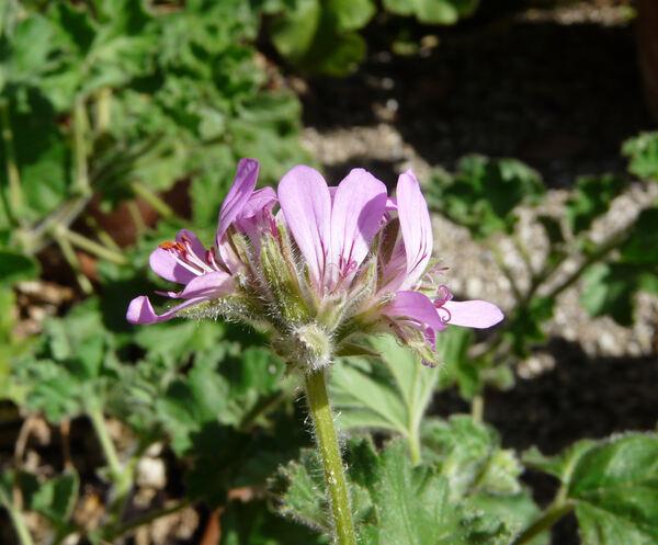 Pelargonium capitatum (L.) L'Hér.
