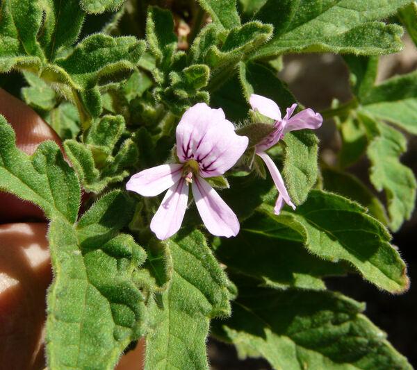 Pelargonium graveolens (L.) L`Her. ex Ait. 'Rober's Lemon Rose'