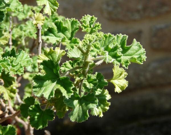Pelargonium crispum L'Hér.