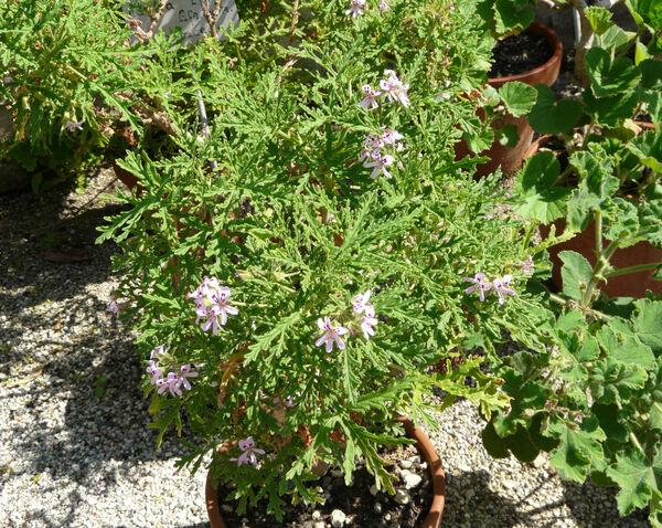 Pelargonium radens H.E. Moore