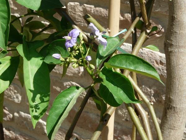 Solanum wendlandii Hook.f.