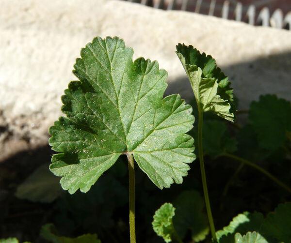 Pelargonium grossularioides (L.) L'Hér. ex Ait.