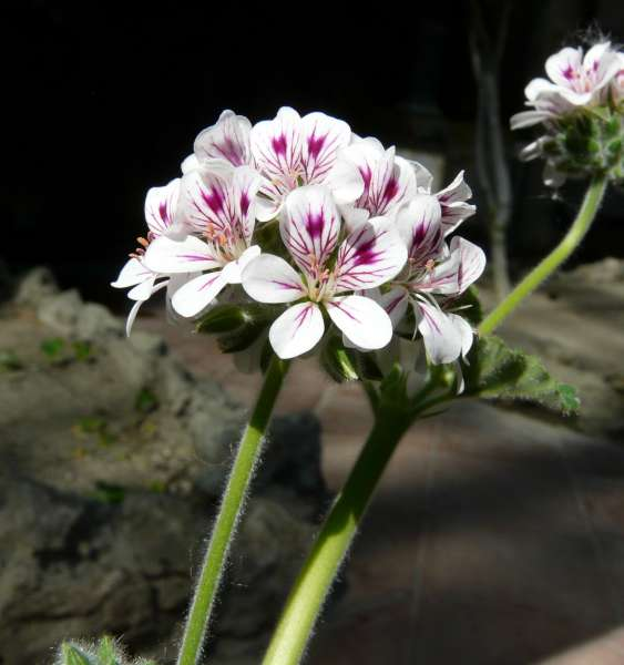 Pelargonium australe Willd.