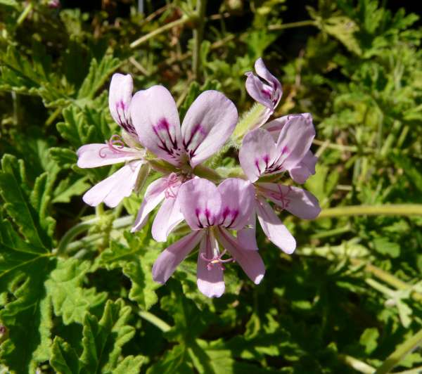 Pelargonium graveolens (Thunb.) L'Hér.
