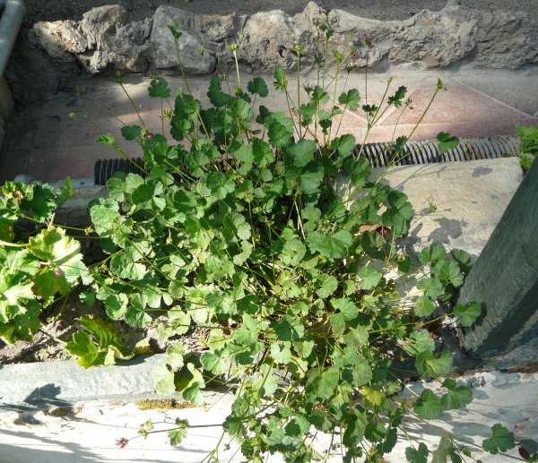 Pelargonium exstipulatum (Cav.) L'Hér.