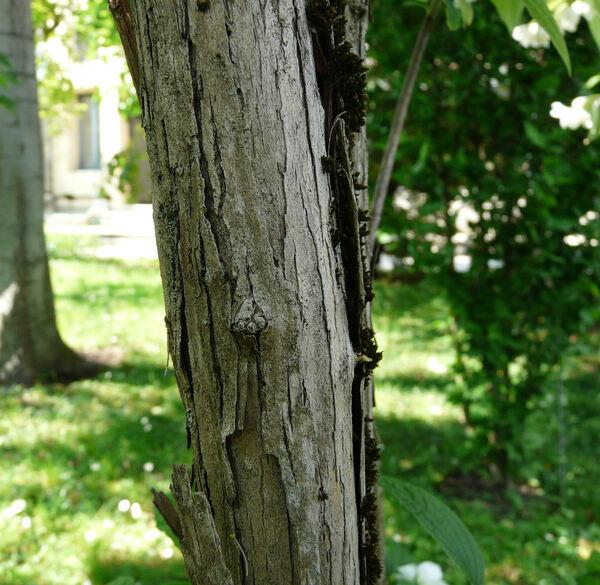 Philadelphus coronarius L. 'Deutziaeflorus'