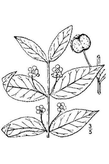 Euonymus americanus L.