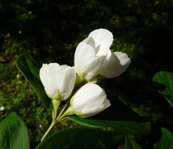 Philadelphus pubescens Loisel.