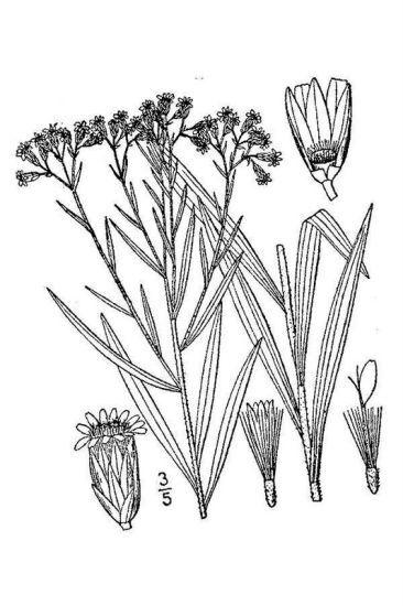 Euthamia graminifolia (L.) Nutt.
