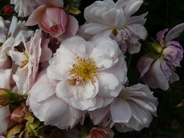 Rosa 'Leander'