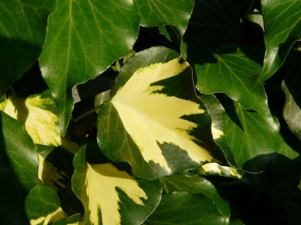 Hedera helix L. 'Oro di Bogliasco'