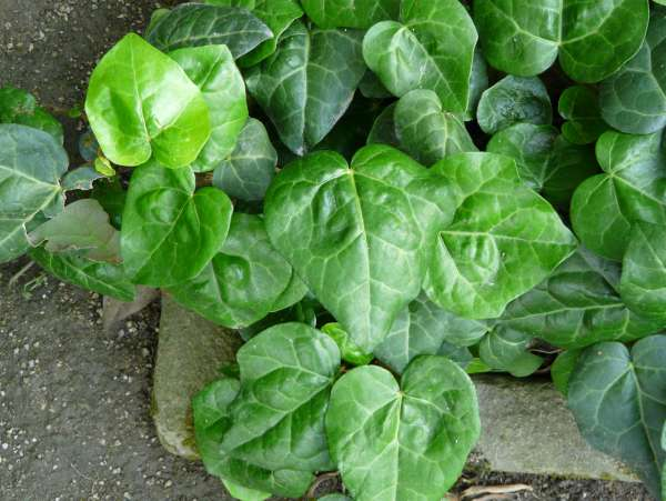 Hedera helix L. 'My Hearth'
