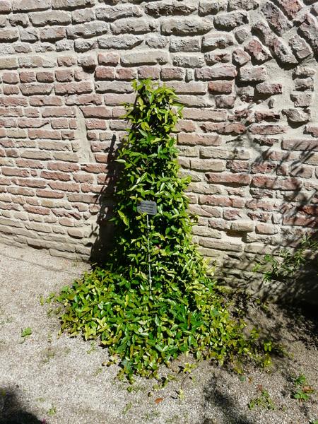 Trachelospermum asiaticum Nakai