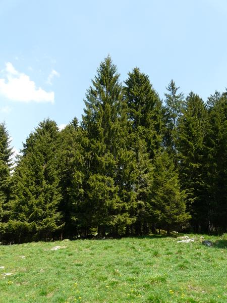 Picea abies (L.) H.Karst.