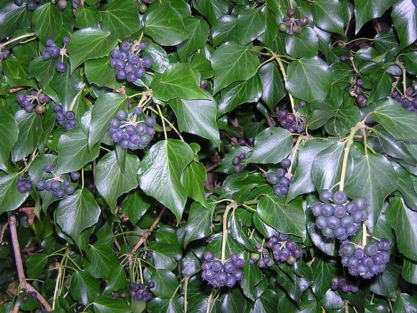 Hedera hibernica (G.Kirchn.) Bean