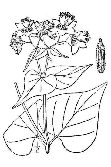 Mirabilis nyctaginea (Michx.) MacMill.