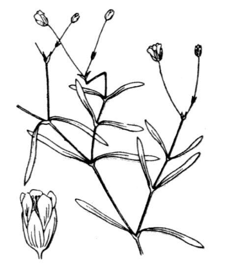 Moehringia intermedia (Loisel.) Panizzi