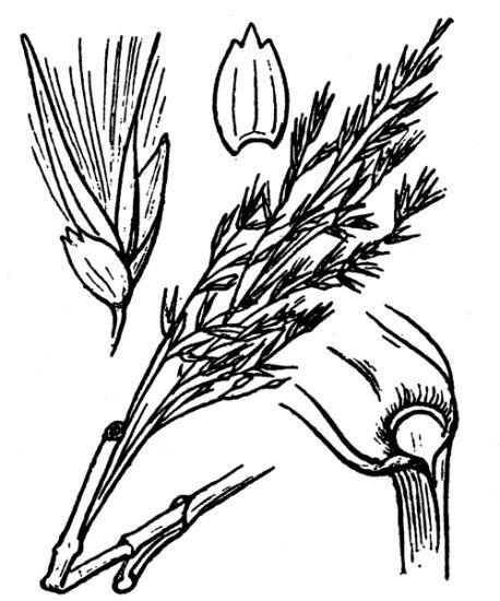 Phragmites australis (Cav.) Trin. ex Steud. subsp. altissimus (Benth.) Clayton