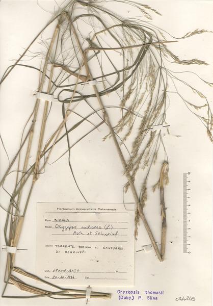 Oloptum thomasii (Duby) Banfi & Galasso