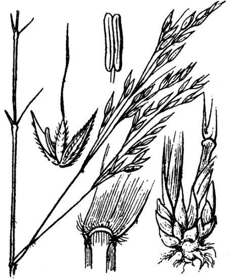 Achnatherum paradoxum (L.) Banfi, Galasso & Bartolucci