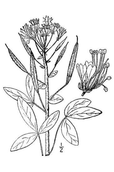 Polanisia trachysperma Torr. & A.Gray