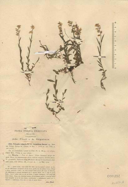 Polygala carueliana (Burnat ex A.W.Benn.) Caruel