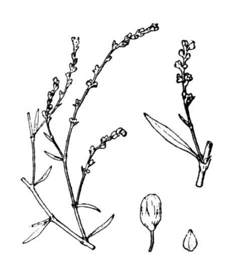 Polygonum arenarium Waldst. & Kit. subsp. pulchellum (Loisel.) Thell.