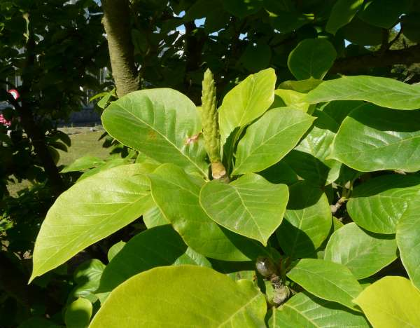 Magnolia x soulangeana Soul.-Bod. 'Alexandrina'