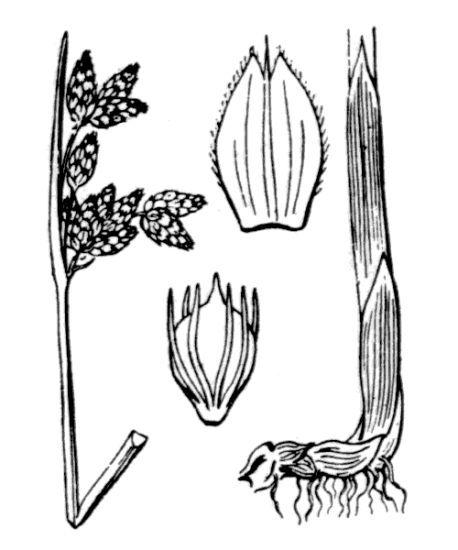 Schoenoplectus carinatus (Sm.) Palla
