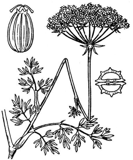 Seseli annuum L. subsp. carvifolium (Vill.) P.Fourn.