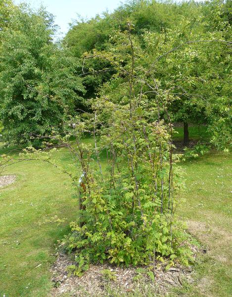 Rubus cockburnianus Hemsl.