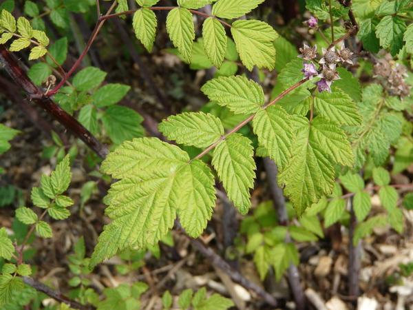 Rubus coreanus Miq.