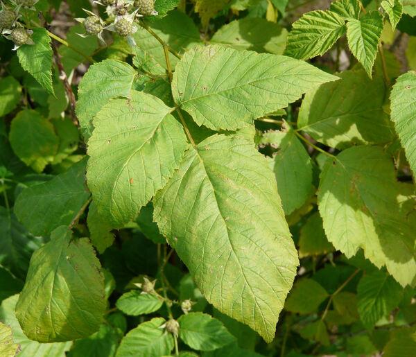 Rubus occidentalis L.