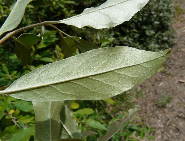 Elaeagnus multiflora Thunb. 'Crispa'